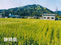 国内産小麦